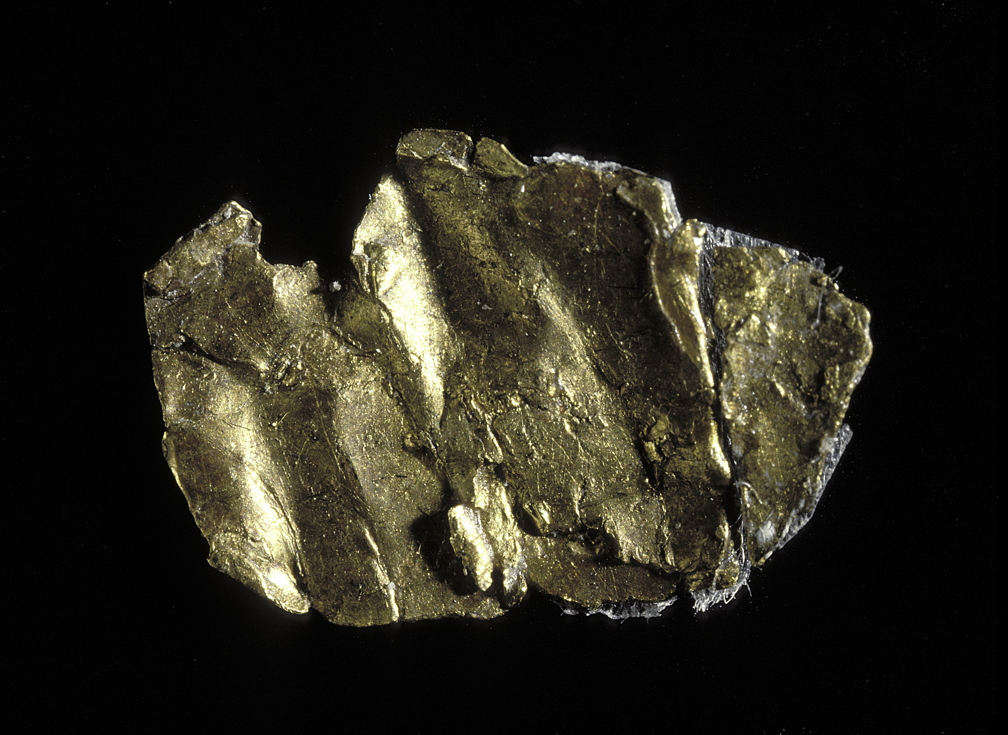This small piece of yellow metal is believed to be the first piece of gold discovered in 1848 at Sutter's. Smithsonian Museum of American History